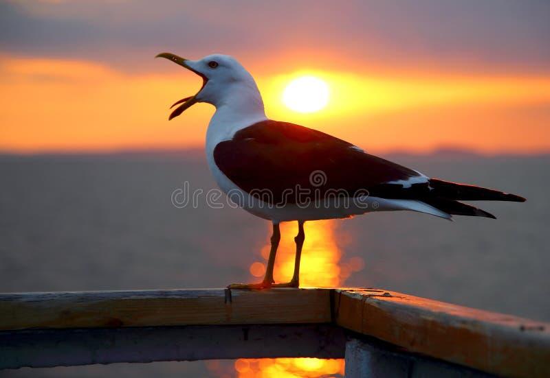 Gaivota de bocejo no mar branco imagens de stock royalty free