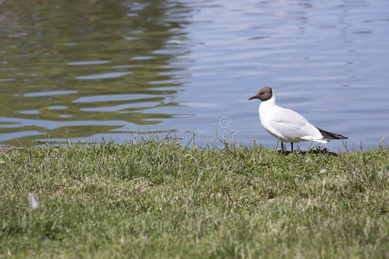 Gaivota de cabeça negra na grama pela água fotografia de stock royalty free