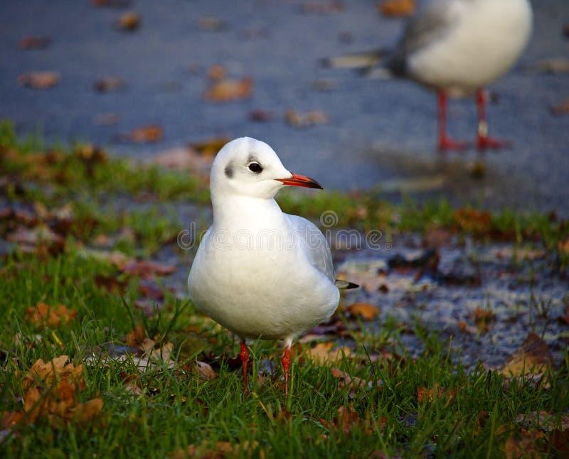 Gaivota de cabeça negra na plumagem do inverno que está na grama imagens de stock