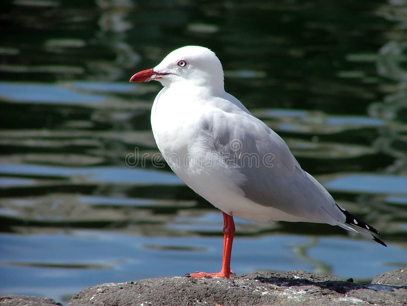 Download Gaivota de mar foto de stock. Imagem de oceano, gulls, praia - 105286