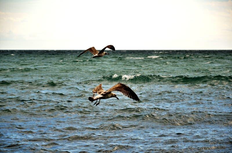 Gaivota de mar acima do mar fotografia de stock