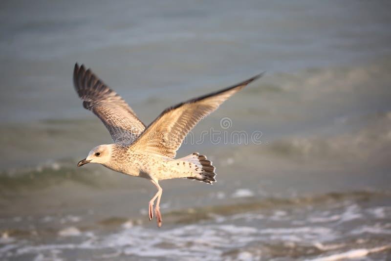 gaivota de mar do pássaro no verão pelo mar Mediterrâneo imagens de stock royalty free