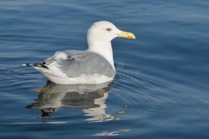 A gaivota de prata fotos de stock
