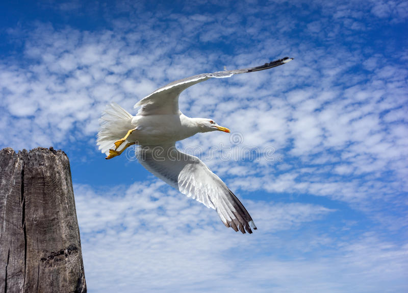 A gaivota decola com coluna de madeira fotografia de stock