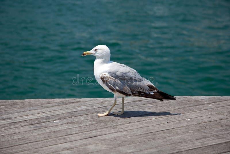 Gaivota do pássaro de mar fotografia de stock royalty free