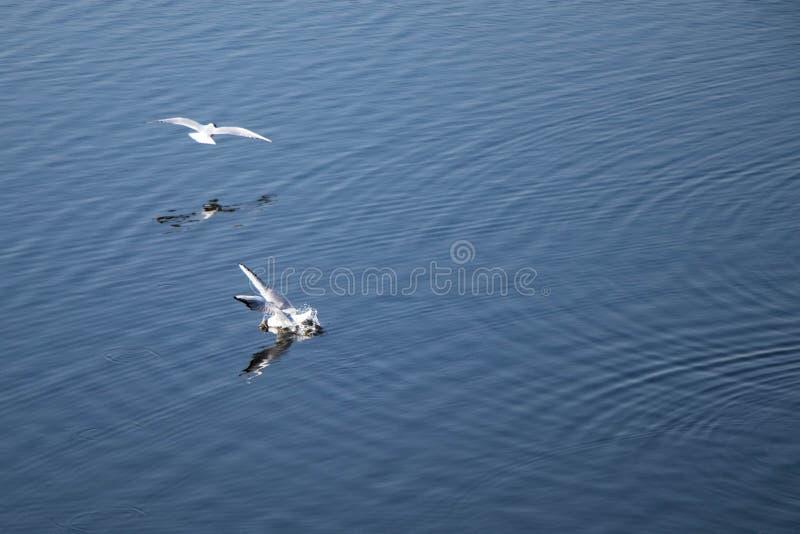 Gaivota do rio que voam sobre a lagoa imagens de stock