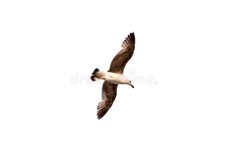Gaivota do vôo isolada no fundo branco O único voo do pássaro alto com suas asas espalhou largamente, olhando para baixo imagem de stock royalty free