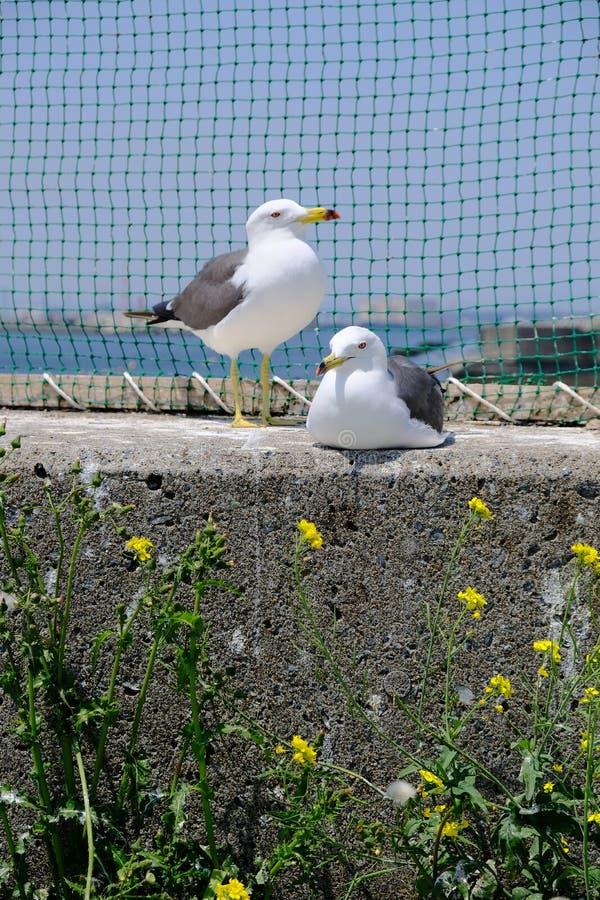 A gaivota dois senta o togther imagem de stock