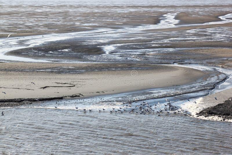 Gaivota em cima dos mudflats de Waddenzee, Holanda fotografia de stock royalty free