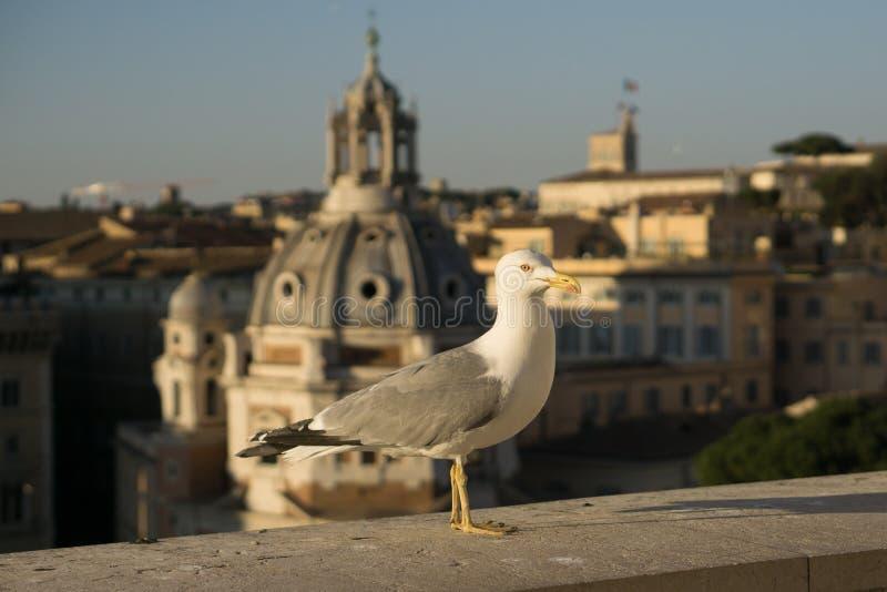 Gaivota em Roma foto de stock