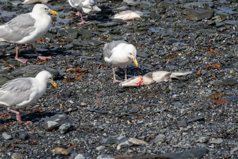 A gaivota em Valdez Alaska come um peixe inoperante dos salmões enquanto outros pássaros olham sobre imagens de stock royalty free