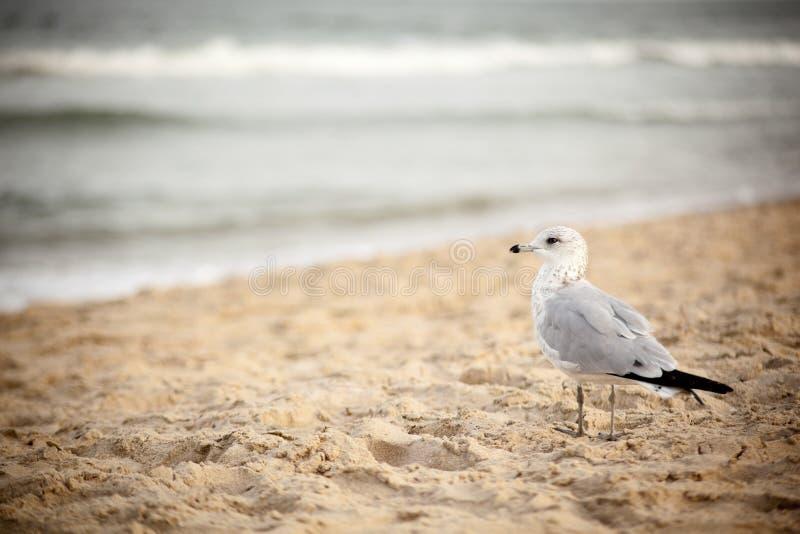 Gaivota em Virginia Beach fotografia de stock