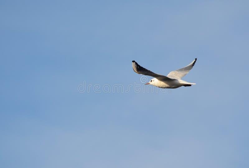 Gaivota em voo sobre Badajoz imagem de stock