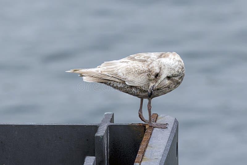 A gaivota está enfeitando-se fotos de stock