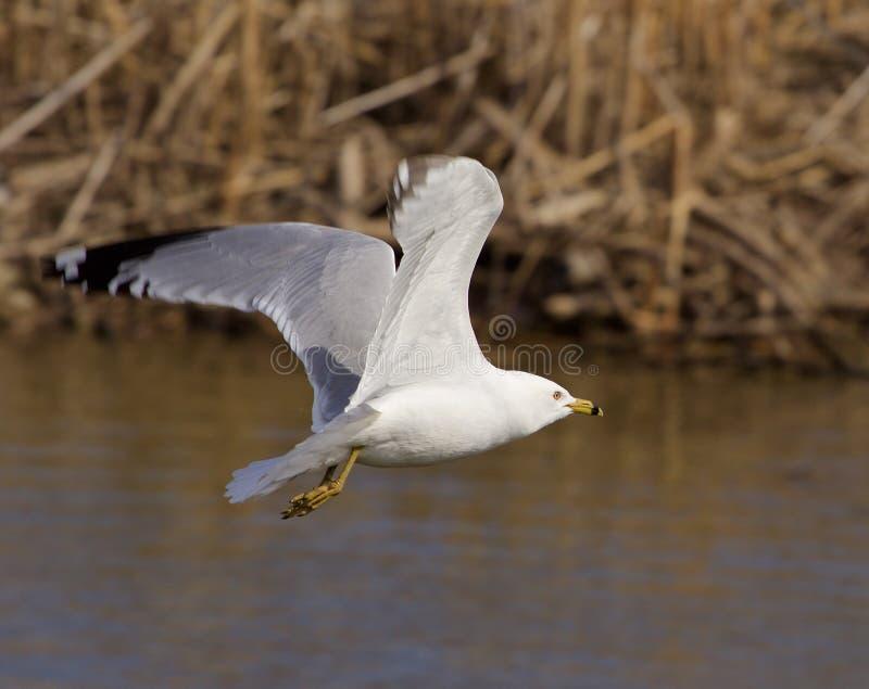 A gaivota está voando a calma imagem de stock royalty free