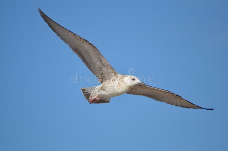 A gaivota está voando no céu foto de stock