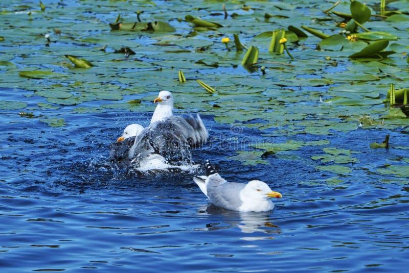 Gaivota europeia do arenque na heligolândia fotos de stock