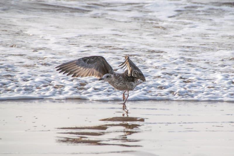 Gaivota juvenil com as asas estendidos que correm contra a maré entrante, Marrocos, África fotos de stock