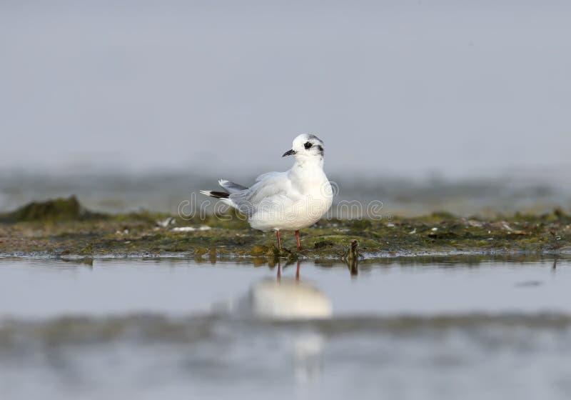 A gaivota mediterrânea imagens de stock