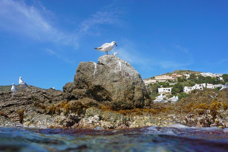 Gaivota mediterrânea em um litoral rochoso imagem de stock royalty free