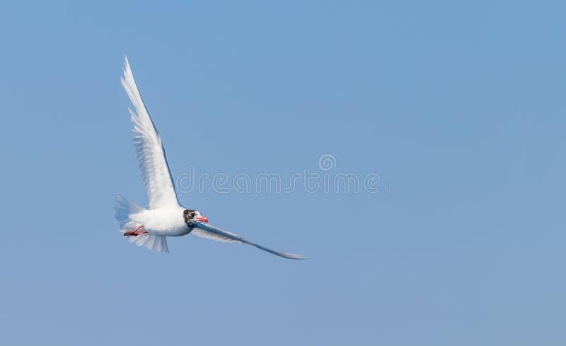 Gaivota mediterrânea em voo sobre o mar fotos de stock royalty free