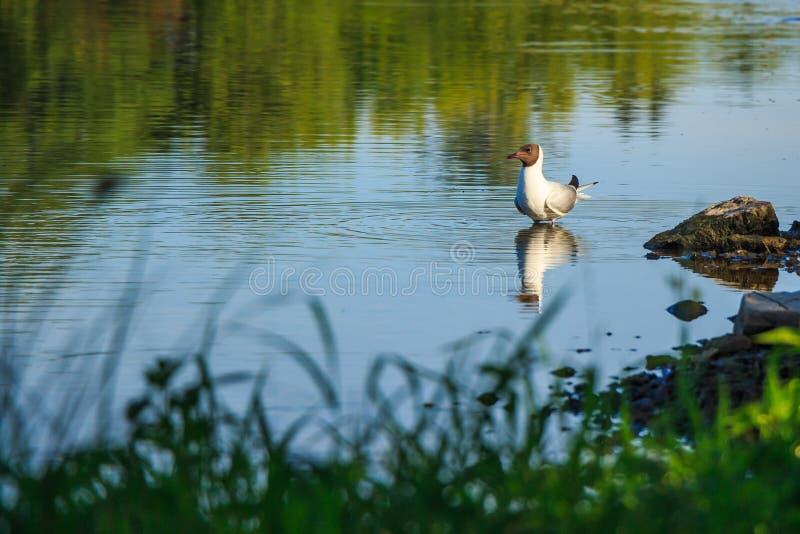Gaivota na lagoa foto de stock royalty free