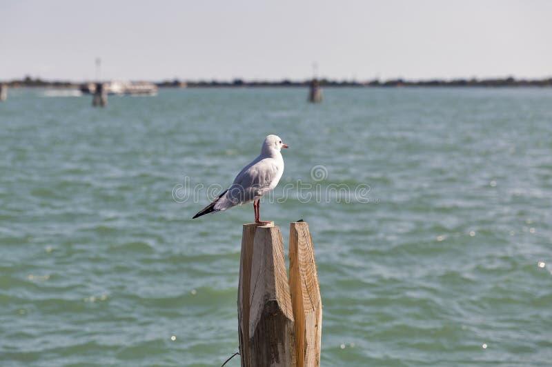 Gaivota na pilha de madeira para a navegação no canal de Veneza foto de stock royalty free
