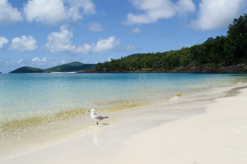 Gaivota na praia de Whitehaven, domingos de Pentecostes Austrália fotos de stock