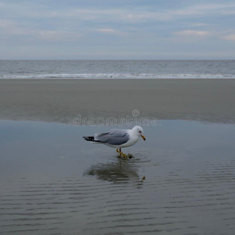 Gaivota no litoral que espirra em uma poça fotografia de stock