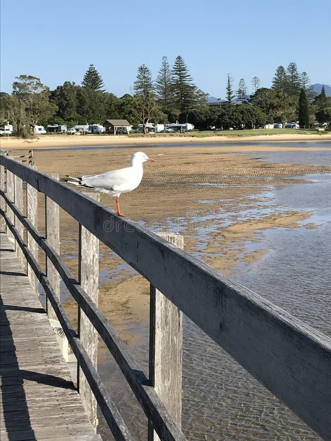 Gaivota no passeio à beira mar, lagoa de Urunga, Austrália fotografia de stock