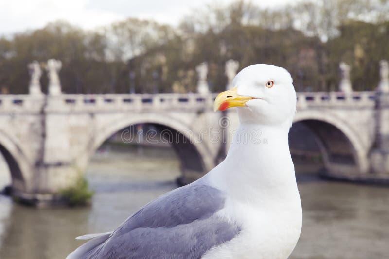 A gaivota no rio Tibre em Roma, com cabeça girou direito e olhar fixamente fotografia de stock