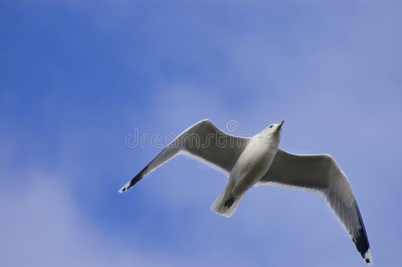 Gaivota no vôo de encontro ao céu azul imagens de stock