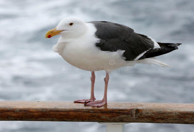 Gaivota ocidental da gaivota no barco fotos de stock
