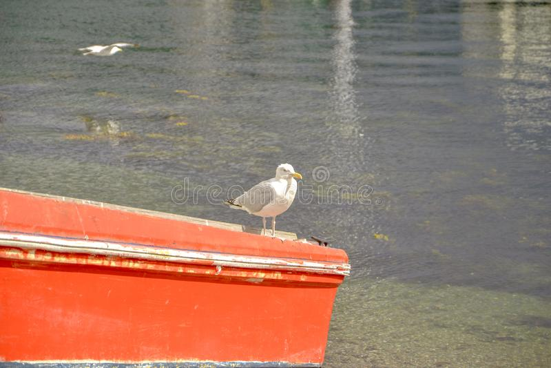 Gaivota - pássaro branco em um litoral fotografia de stock royalty free