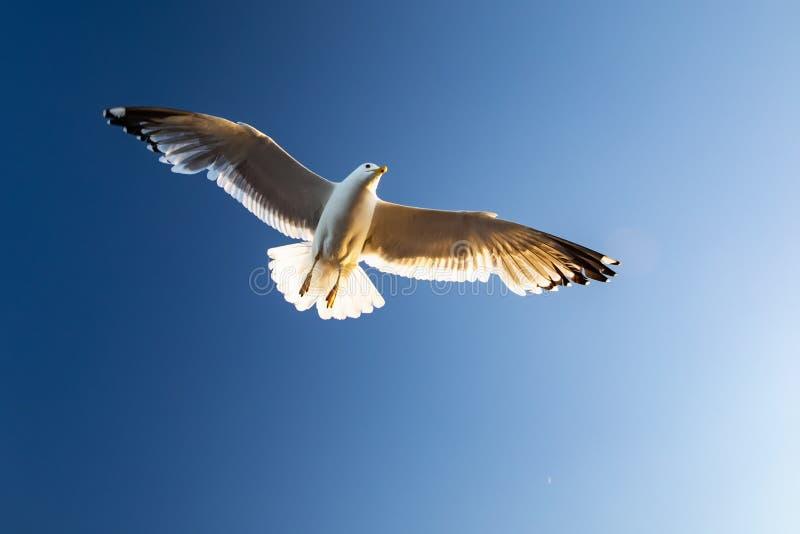 A gaivota paira sobre as águas do Lago Baikal fotografia de stock royalty free