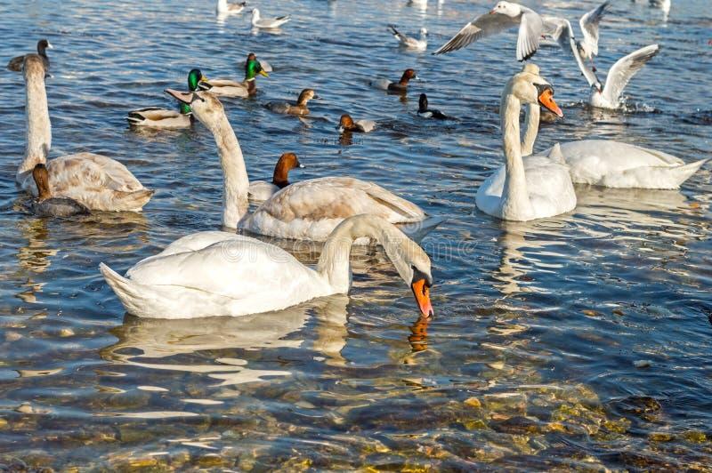 Gaivota, patos e cisnes foto de stock royalty free