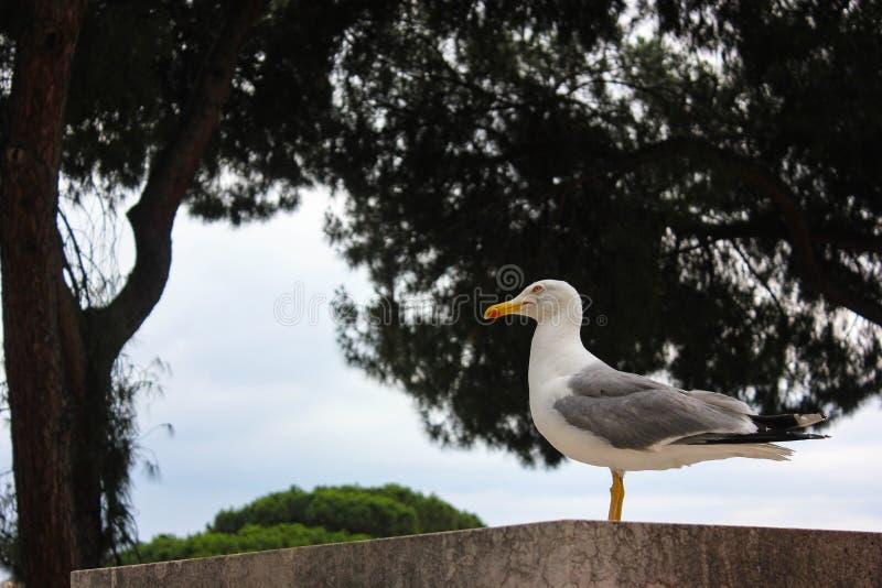 Gaivota pensativa em Roma fotografia de stock