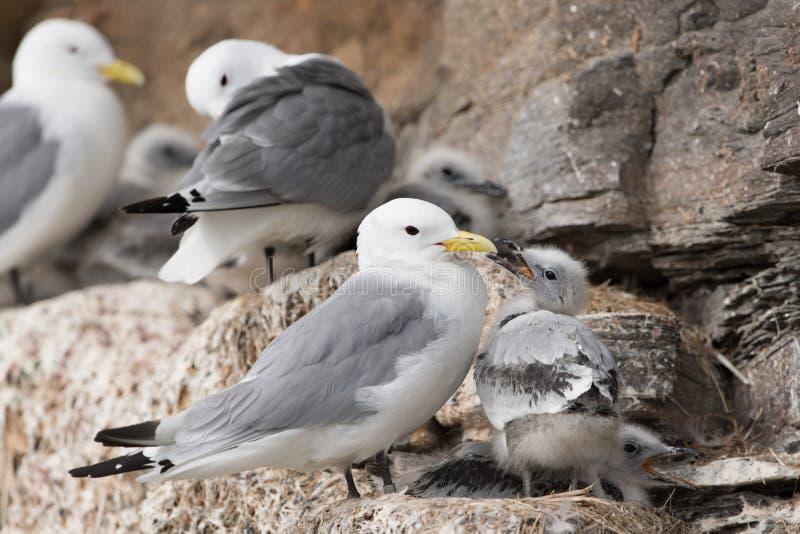 gaivota Preto-equipada com pernas imagem de stock