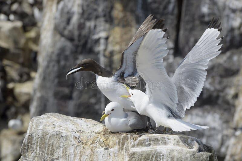 gaivota Preto-equipada com pernas que persegue um mergulhão fotografia de stock royalty free