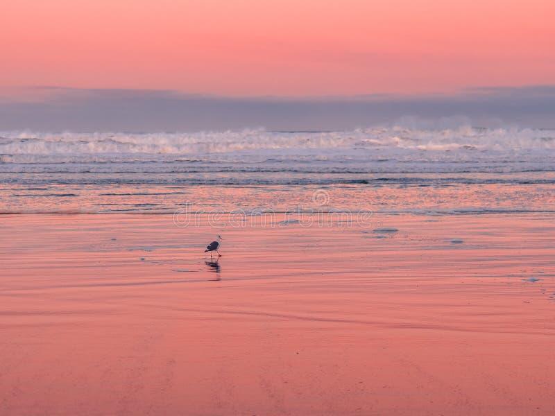 Gaivota que anda na praia no alvorecer imagem de stock