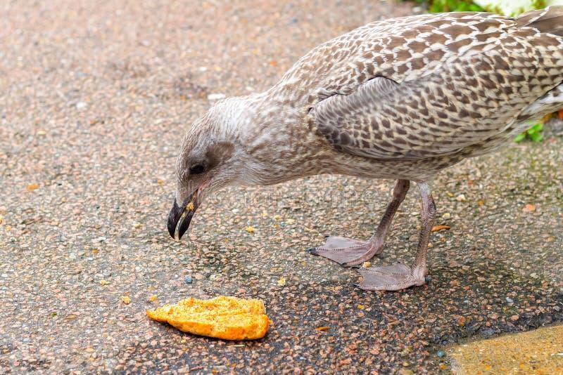 Gaivota que come o pão na rua imagens de stock royalty free