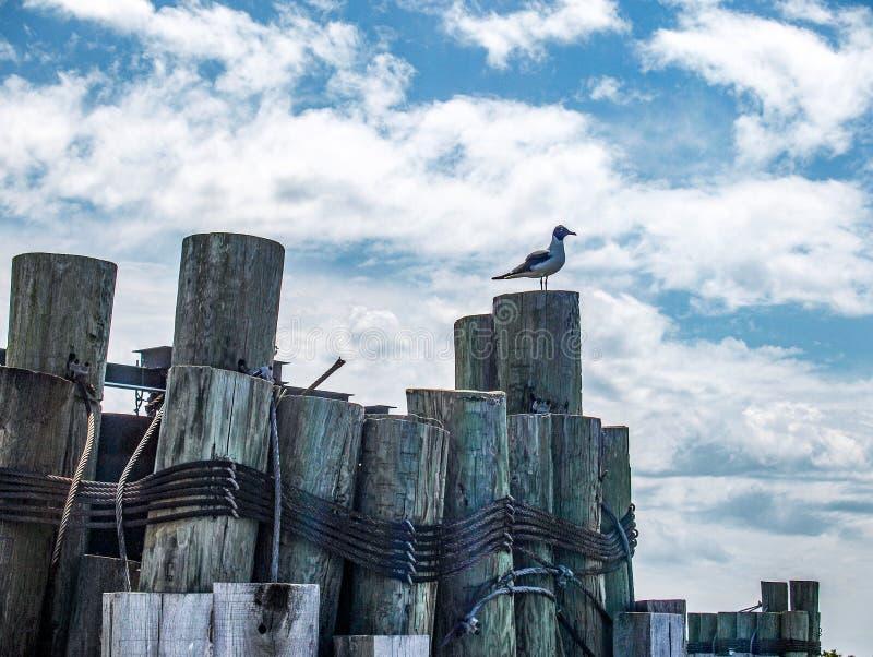 Gaivota que descansa em cargos de madeira na doca fotografia de stock royalty free