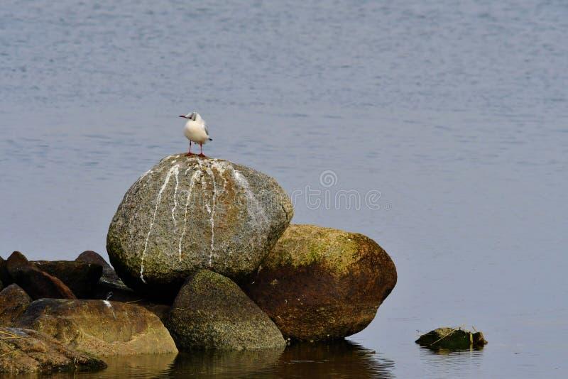 Gaivota que está na pedra no porto de Lammefjord do dinamarquês imagens de stock royalty free