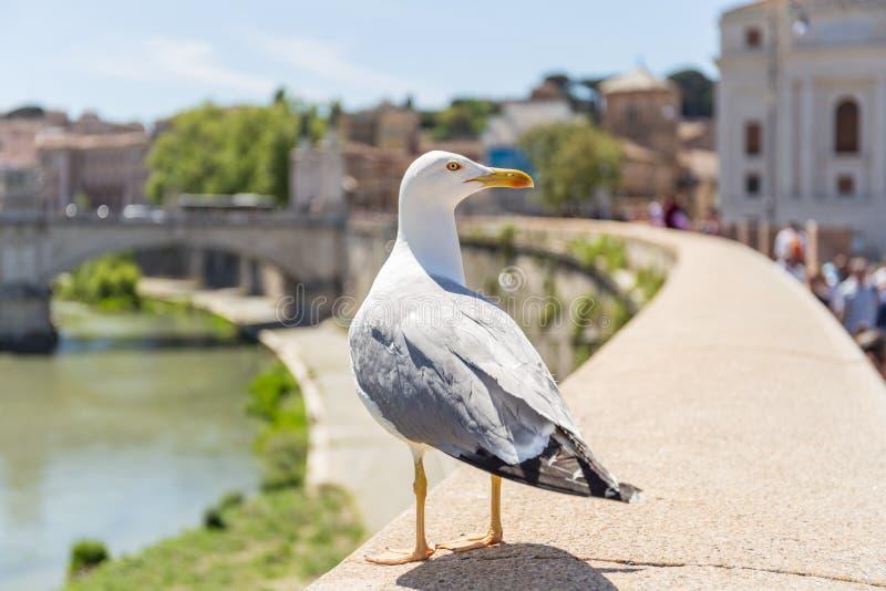 Gaivota que procura o alimento na parede do rio de Tibre, ponte de Vittorio Emanuele II no fundo Indicadores velhos bonitos em Ro fotografia de stock