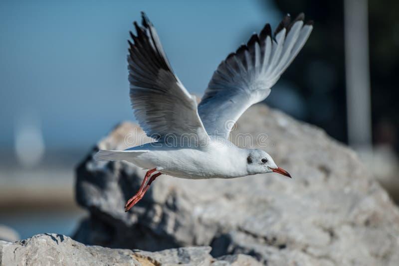 A gaivota que salta da rocha fotos de stock royalty free