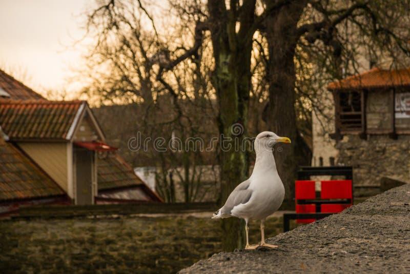 Gaivota que senta-se na cerca E Parede antiga da fortaleza e torre nova fotografia de stock