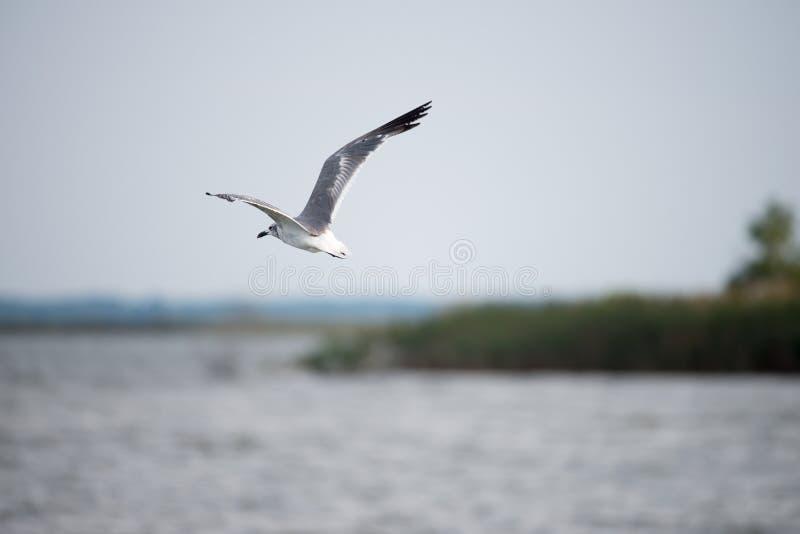 Gaivota que voa sobre a baía de Chesapeake em torno do por do sol fotos de stock royalty free