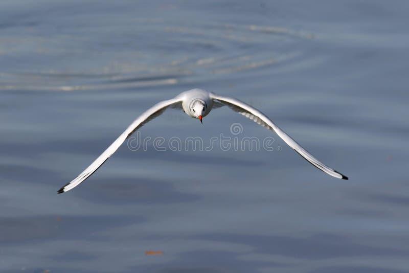 Gaivota que voa sobre o rio fotografia de stock