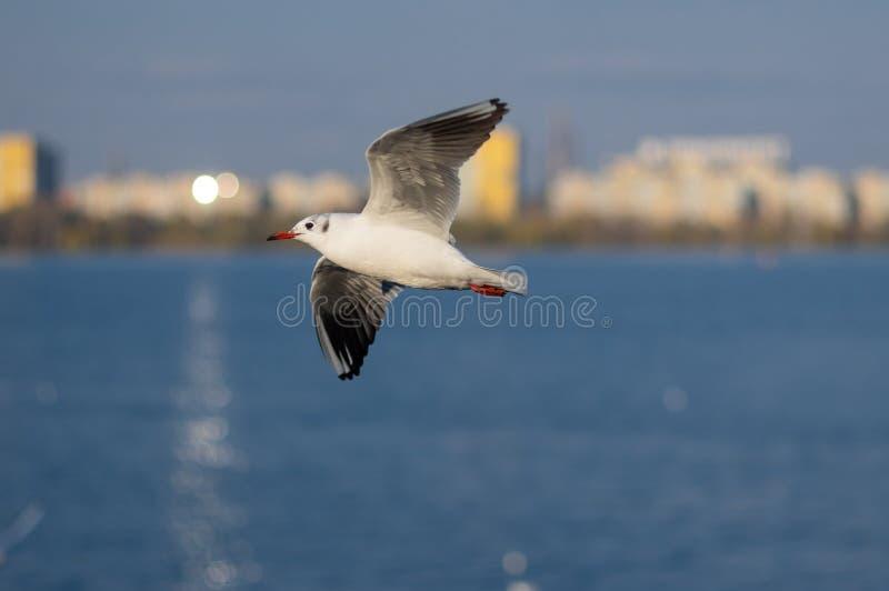 Gaivota que voa sobre o rio outonal de Dnipro fotografia de stock royalty free