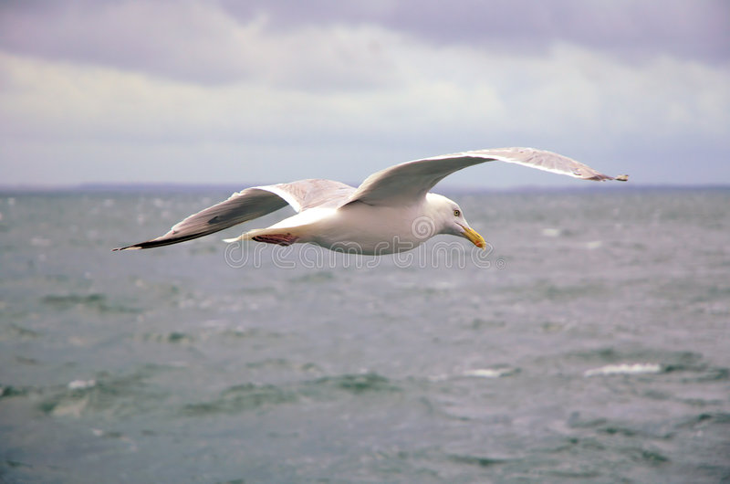 Gaivota sobre o mar fotografia de stock